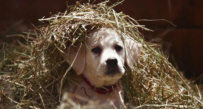super bowl budweiser puppy